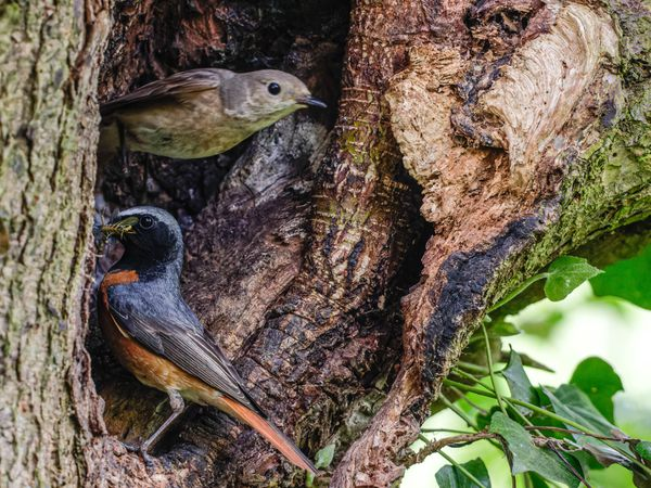 Male and female Redstart feeding nest by Terry Moore