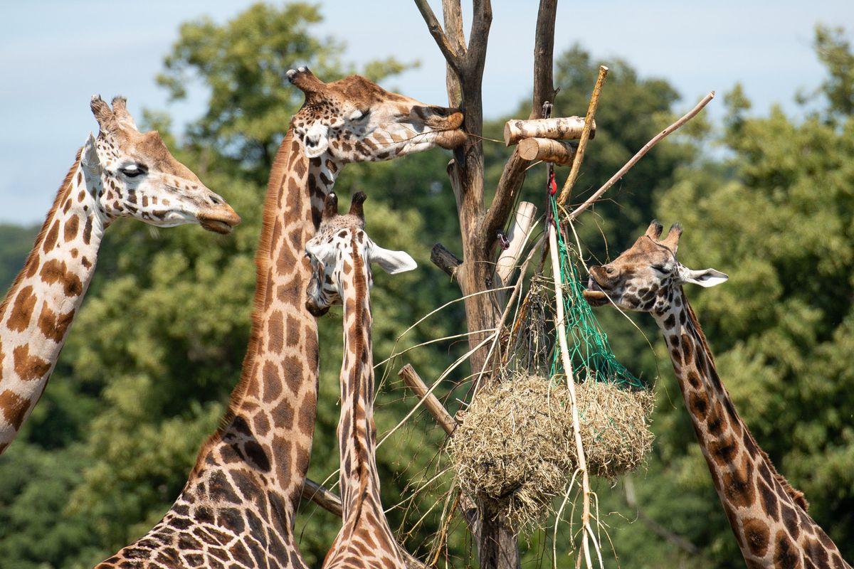 Visitors observe giraffes