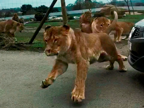 WATCH: Terrifying footage as lions leap towards visitor's car at West Midland Safari Park