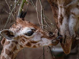A rare baby giraffe has been born at Chester Zoo