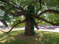 Black Poplar shortlisted for Welsh tree of the year