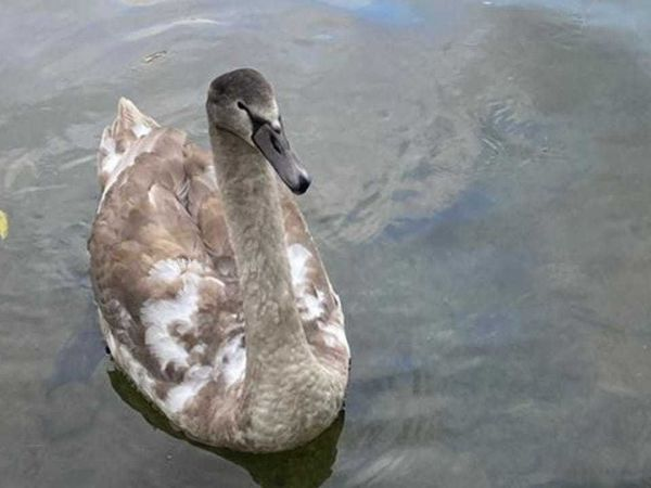 Stranded cygnets rescued by Network Rail workers