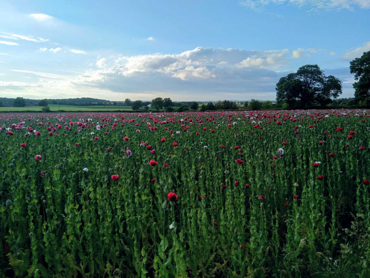 The beautiful poppies near Newport. Photo: Dr Catherine Lamond