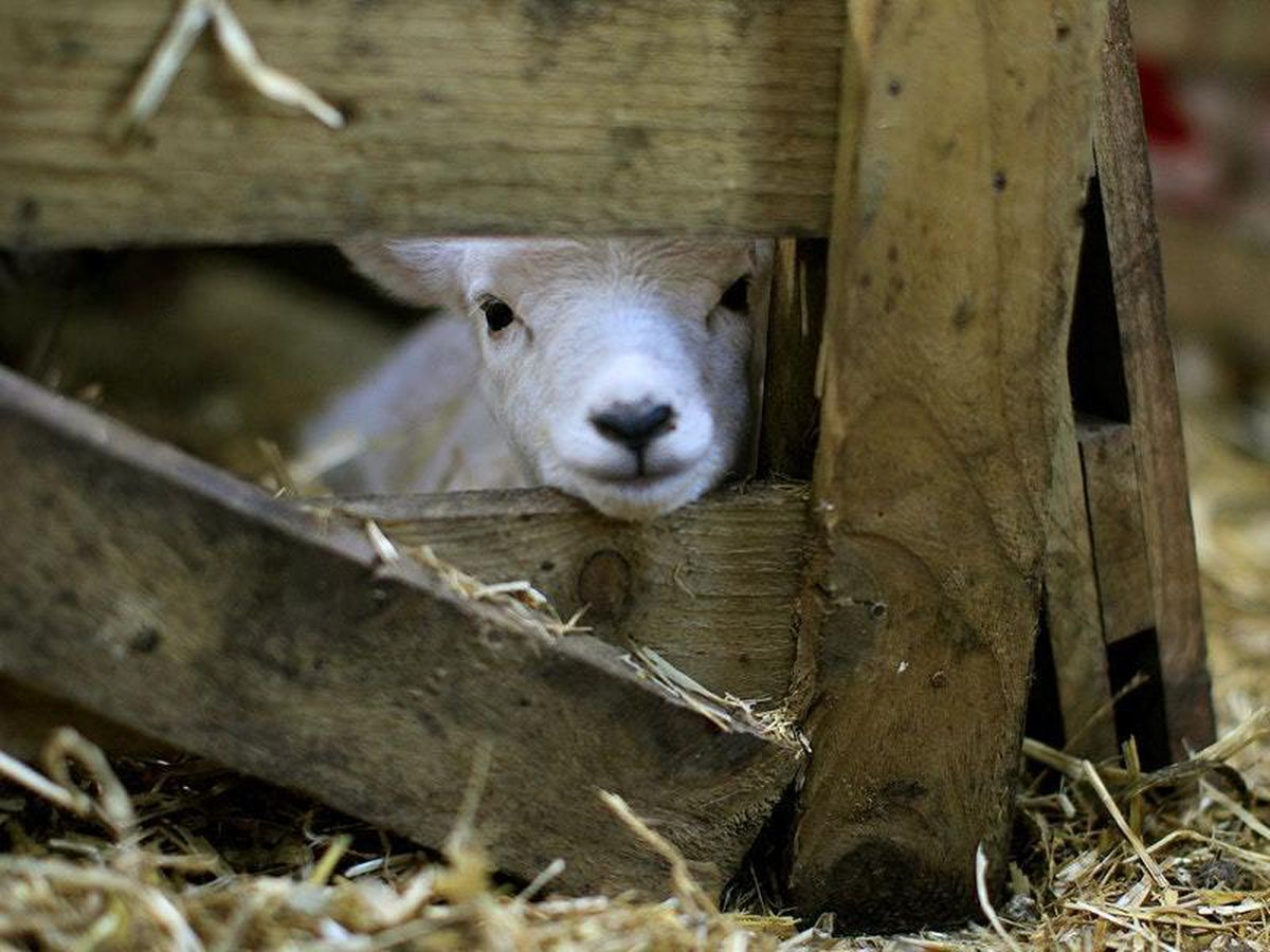 Lambs on the menu? It might be us next.