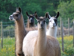 Peter Rhodes on dodgy hairdos, the fading case for HS2 and llamas to the rescue