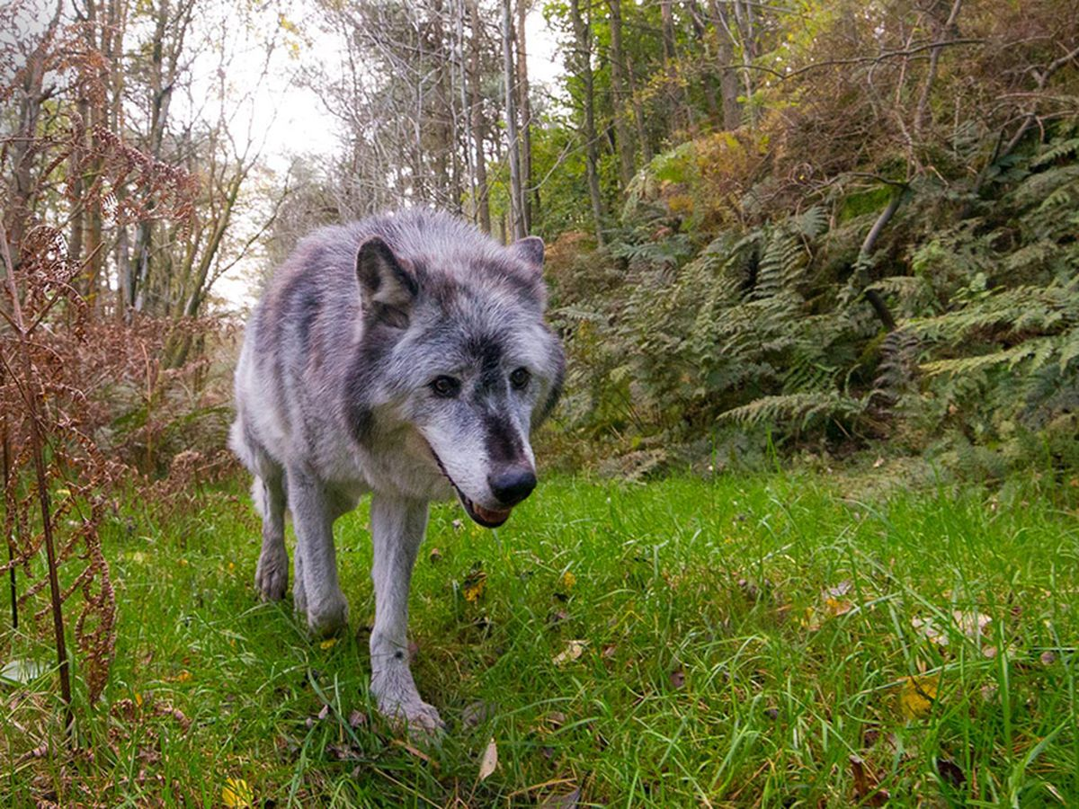 One of the Wolf Watch UK wolves