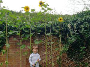 Ben Macleod with his winning sunflowers