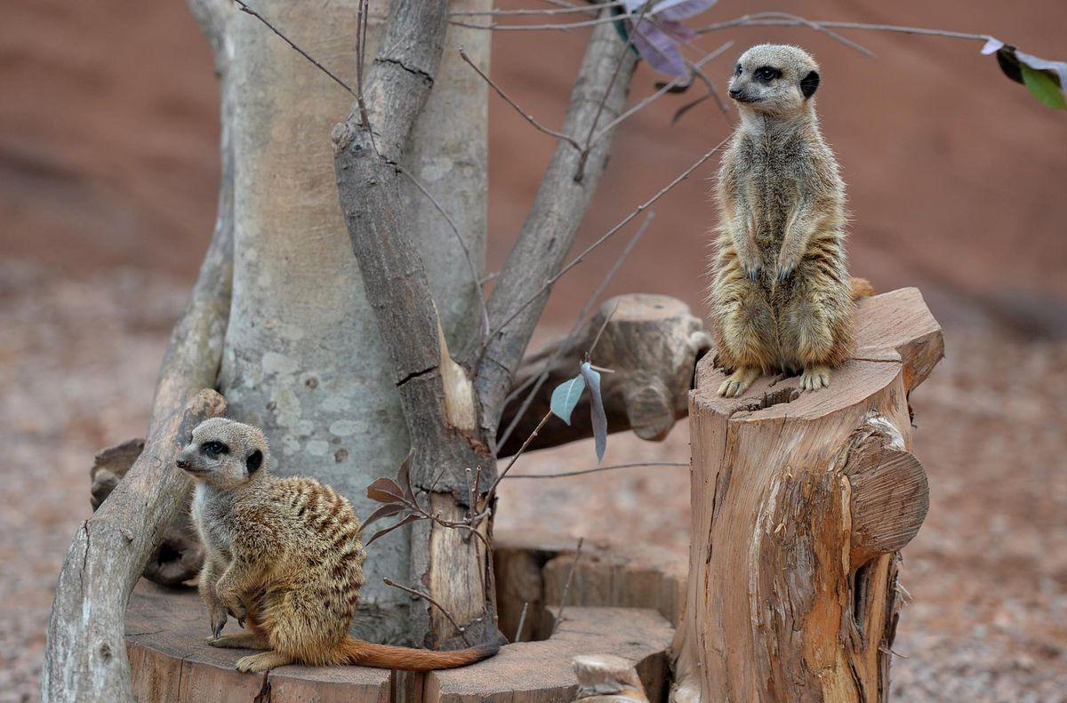 The ever-popular meerkats