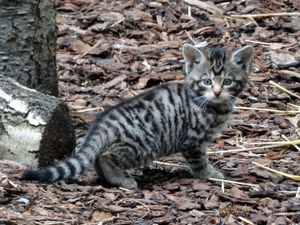 A wildcat kitten