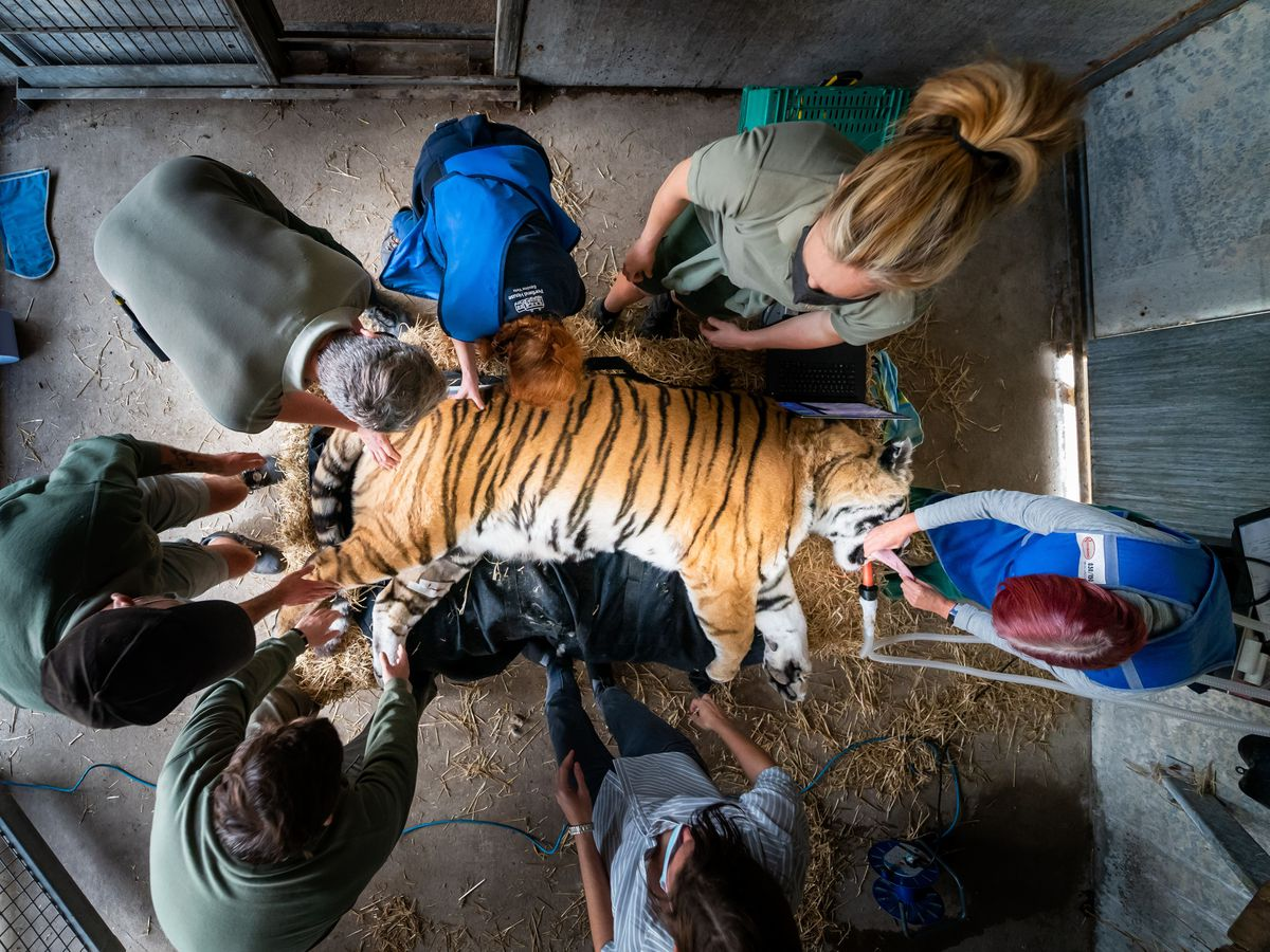 Experts x-ray Amur tiger's spine