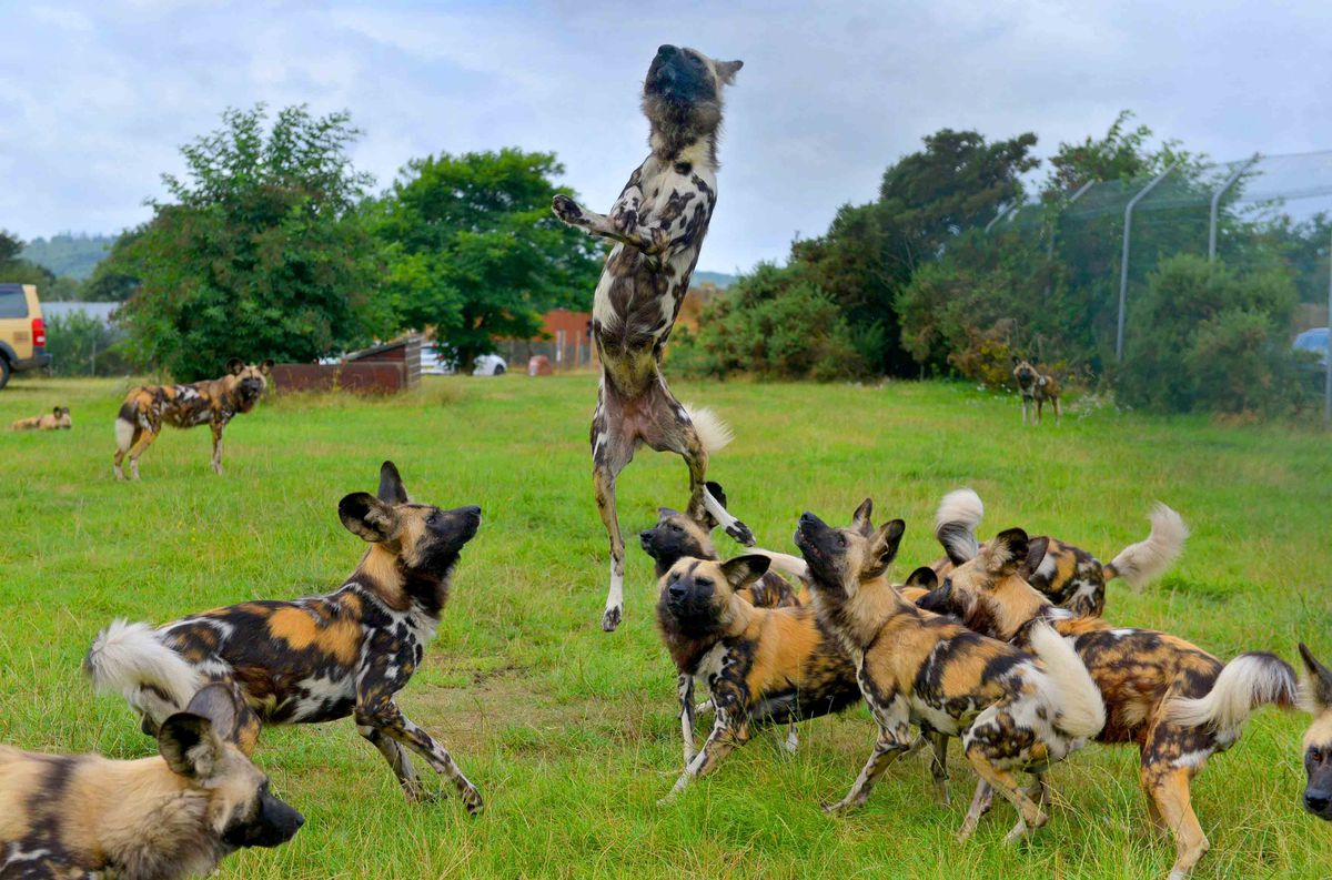 "African wild dog is ""one of the world's most endangered mammals"""