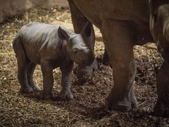 Rare rhino gives birth in front of visitors at zoo