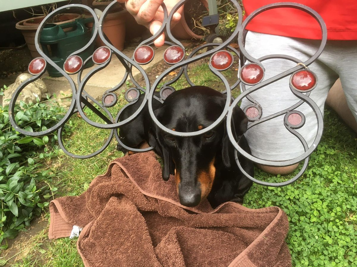 Mille the sausage dog stuck in a wine rack