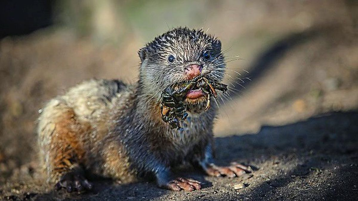 Asian short-clawed otters at Chester Zoo