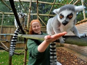 During half term, the lemur walk will be open for families to enjoy. Head keeper Alison Bridgwater gives Gizmo a treat