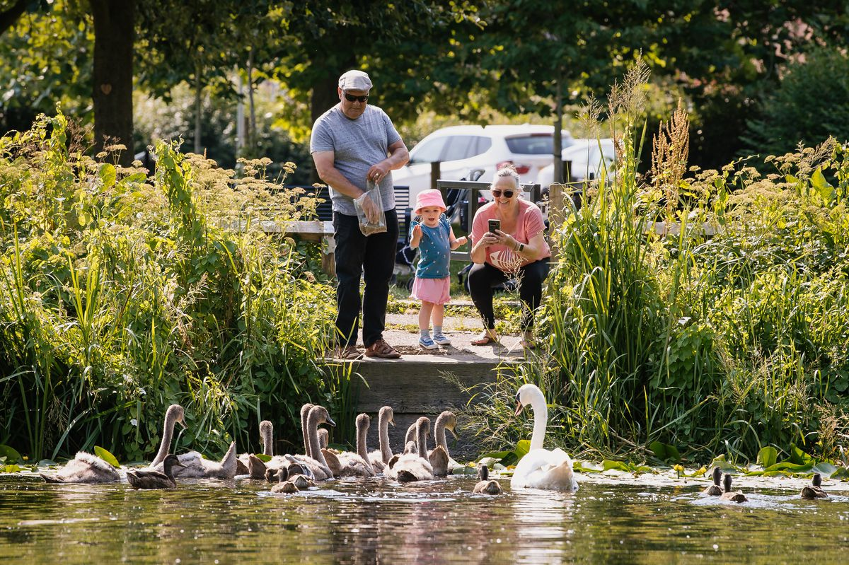 A family feeding the large swan family