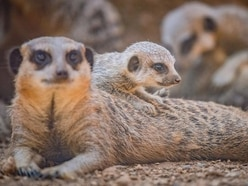 Meerkat pups play outside for the first time at Chester Zoo