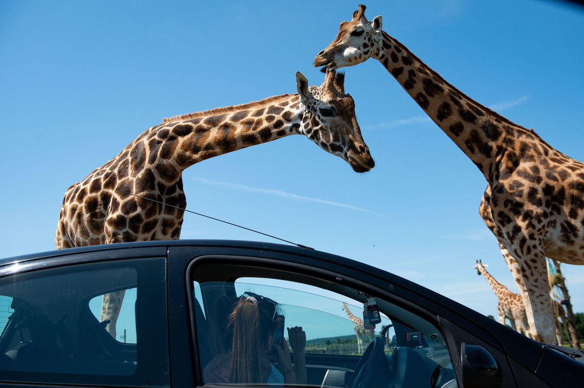Visitors observe giraffes at West Midland Safari Park in Bewdley
