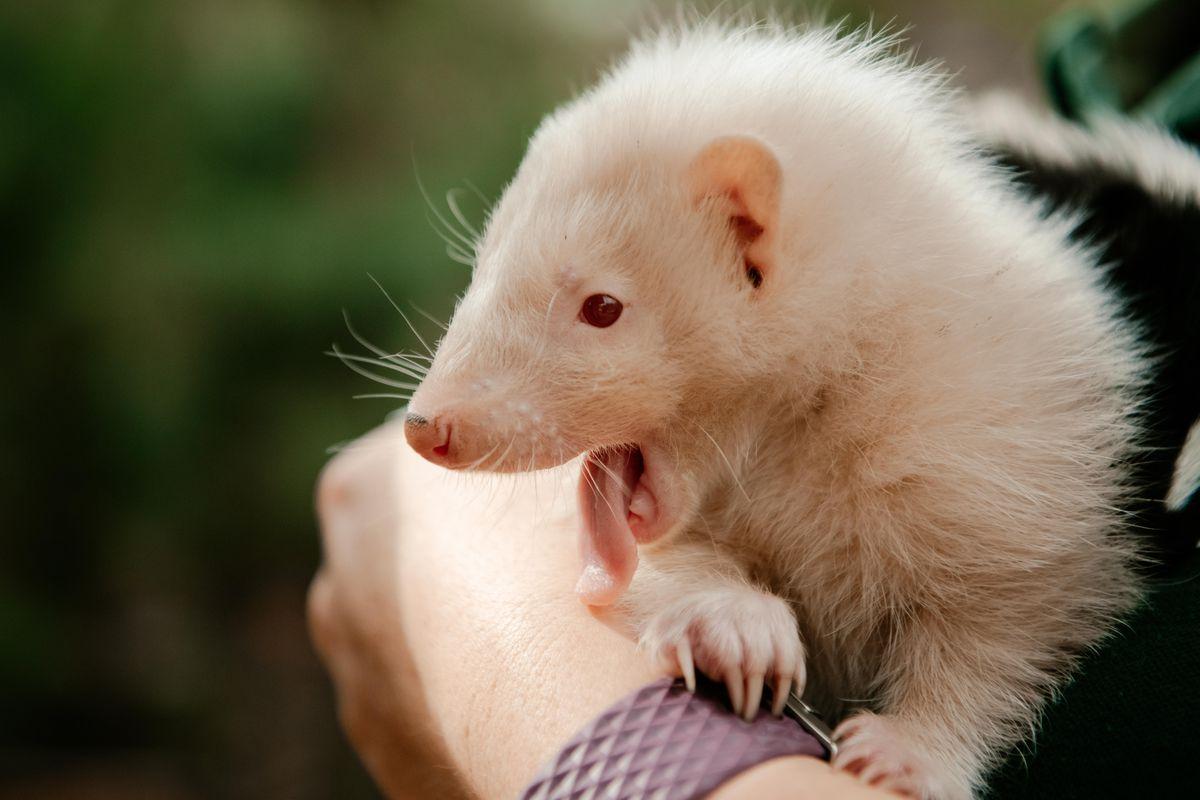 A baby albino skunk