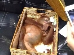 Russian arrested smuggling drugged orangutan in Indonesia