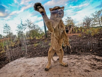 Paw-fect home for lions at Chester Zoo