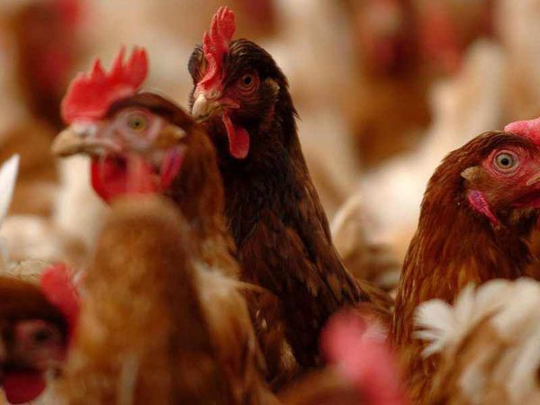 Dozens of complaints over chicken farm smell