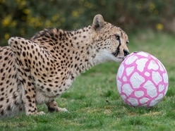 Safari Park's big cats are treated to their own Easter eggs