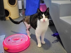 Abandoned alleycat learns how to walk again at Battersea
