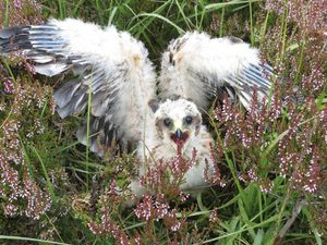 Hen harrier chick