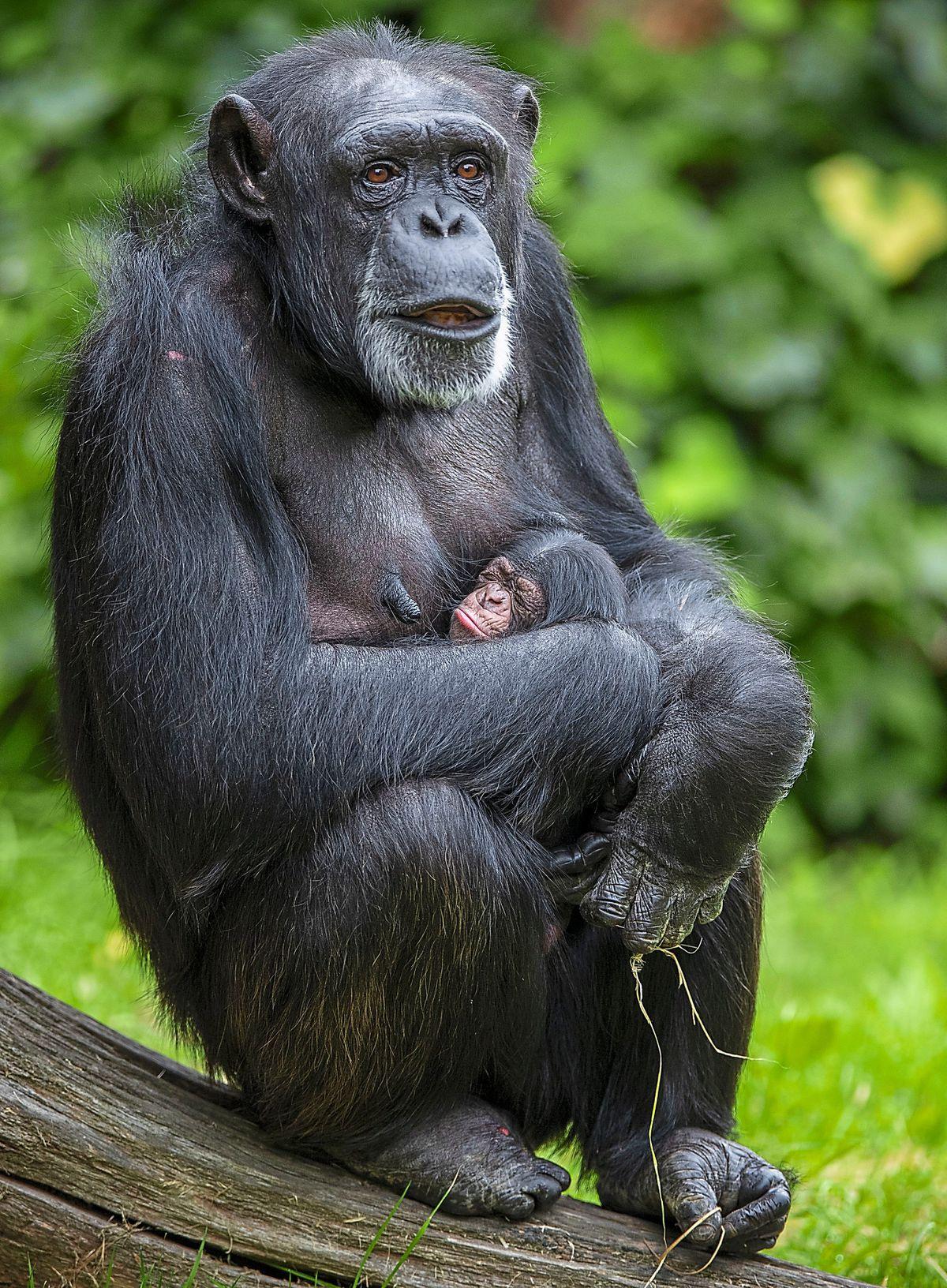 Western chimpanzee Mandy with baby