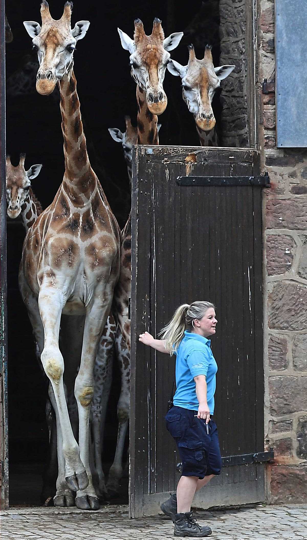PABEST.Hannah Owens, giraffe keeper, opens the doors to release the giraffes at Chester Zoo as it reopens to visitors following the further easing of coronavirus lockdown measures in England. PA Photo. Picture date: Monday June 15, 2020. See PA story HEALTH CoronavirusReopenings. Photo credit should read: Peter Byrne/PA Wire..