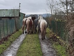 Five loose horses corralled by police near Whitchurch