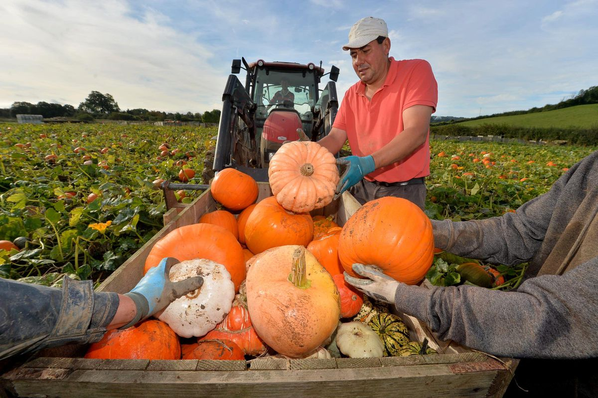 Around 50,000 pumpkins and squash will be harvested