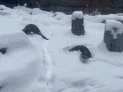 Otters frolic in snow as wintry weather hits parts of US