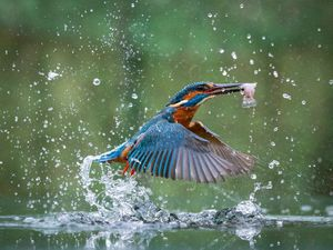 Jon Morris's kingfisher photo