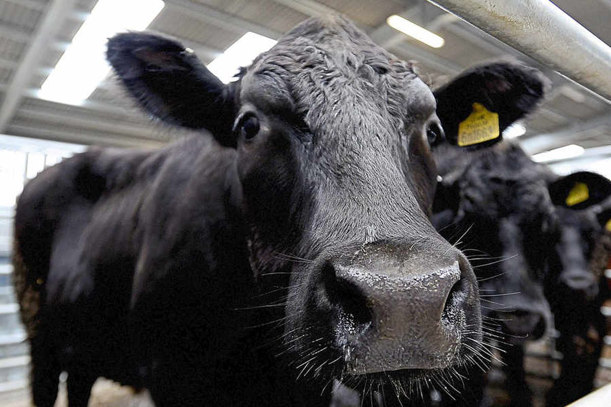 The market held its third sale for store cattle in the new area