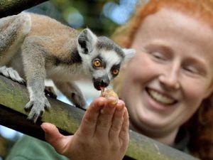 Captain Tom the ring-tailed Lemur. Photo: Hoo Farm