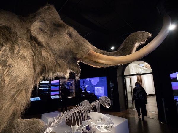 Life-size woolly mammoth