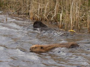 The beavers have been released into the Montgomeryshire WIldlife Trust nature reserve at Cors Dyfi