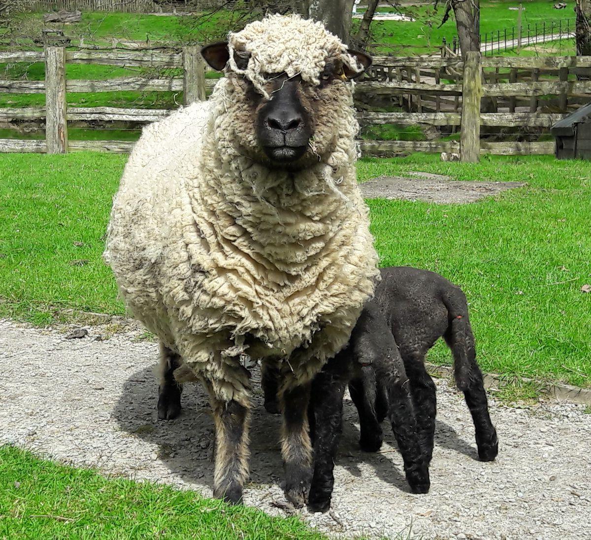 Sheep at Acton Scott Historic Working Farm