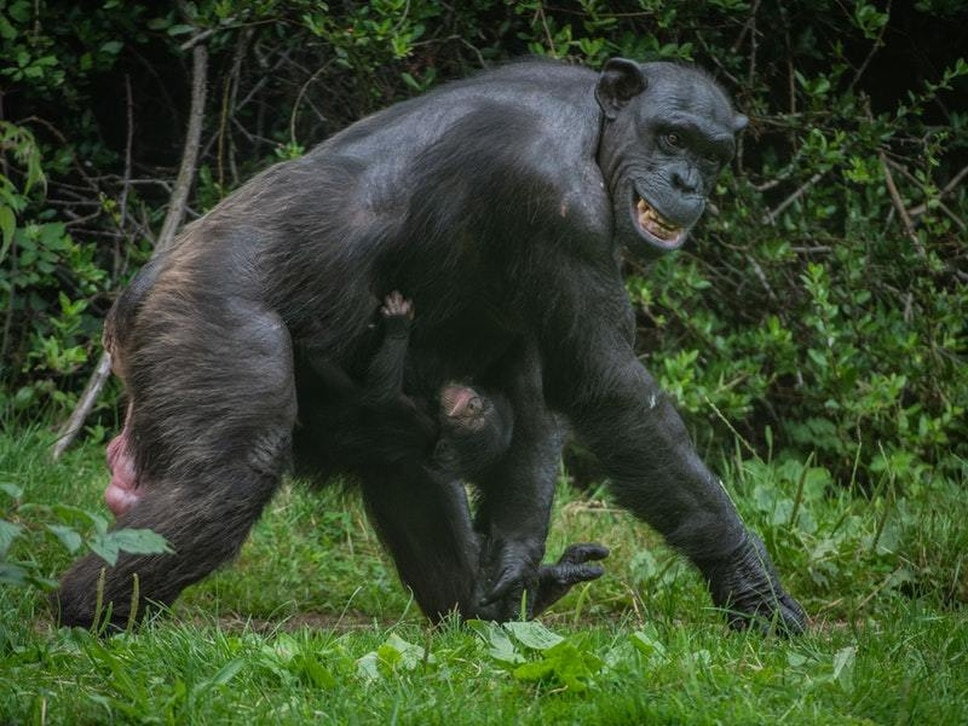 Endangered chimpanzee born in front of visitors at Chester Zoo