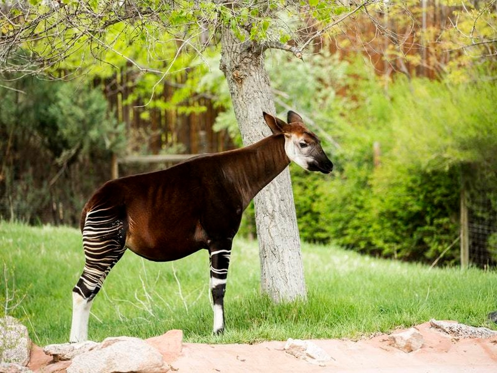 Watch the moment an endangered baby okapi is born at San