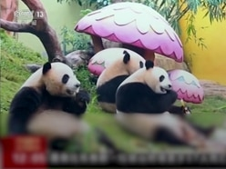 In Video: Watch the world's only panda triplets enjoy some Chinese New Year treats