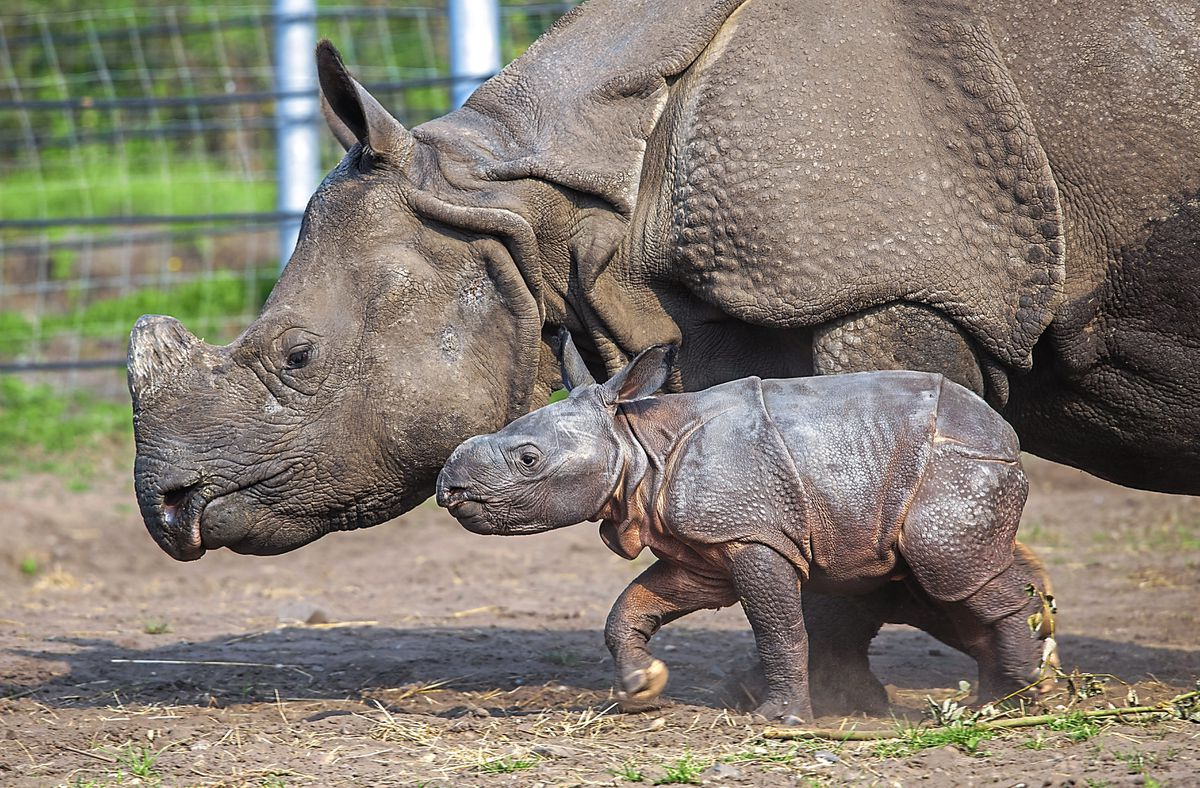 Inesh, West Midland Safari Park's first Indian Rhino calf, with mother Seto getting used to new surroundings at the attraction in Bewdley during the quiet summer months