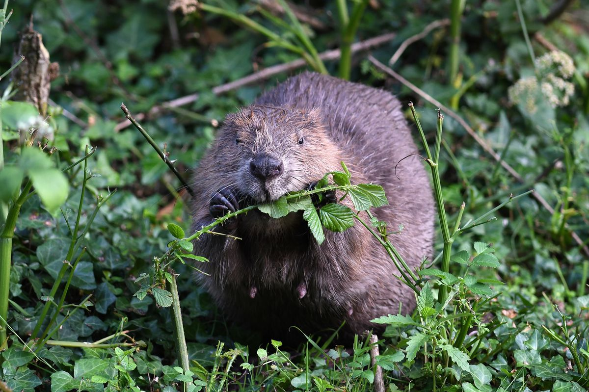 Talks on beavers are also planned