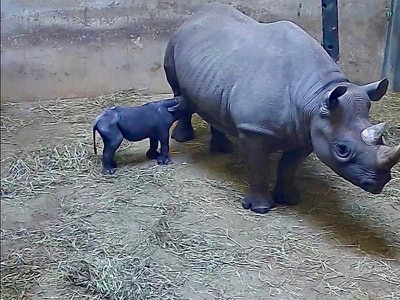 Kapuki the rhinoceros gives birth at Chicago's Lincoln Park Zoo