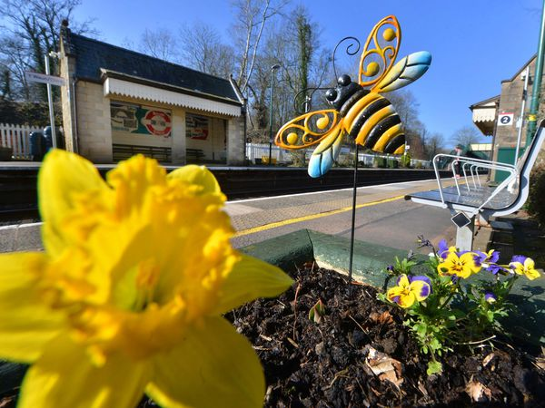 A single daffodil blooms at Chirk Station for St David's Day celebrated in Chirk this week