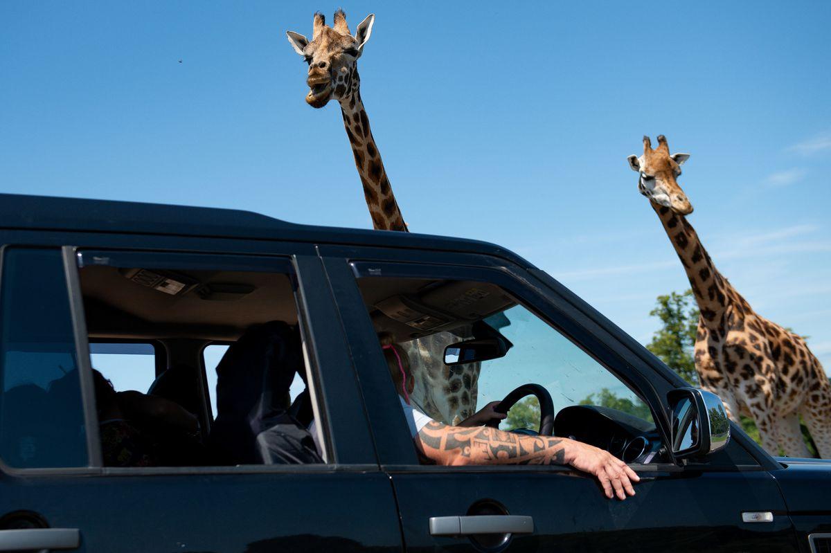Visitors observe giraffes at West Midland Safari Park