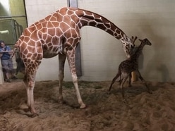 Giraffe takes first wobbly steps at US zoo
