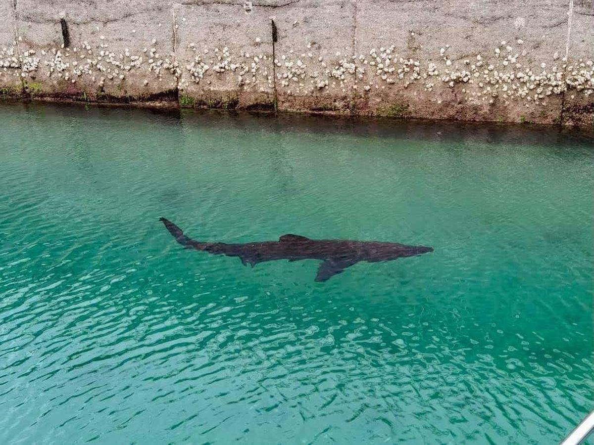 Basking shark in Torquay Marina